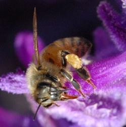 Honeybee photo
