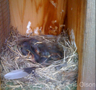 Sleeping Baby Bluebirds