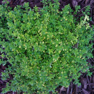 A Hardy & Fragrant Groundcover