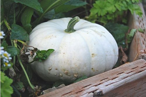 White pumpkin-farmerjulie
