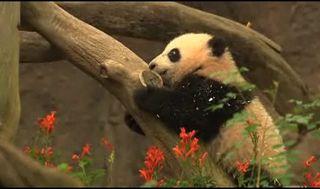 Panda-sandiegozoo