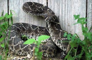 Rattlesnake charles & clint