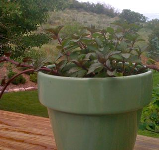 Tips on growing Chocolate mint plants