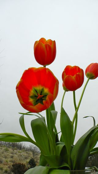 red tulips photo by Chris Olson