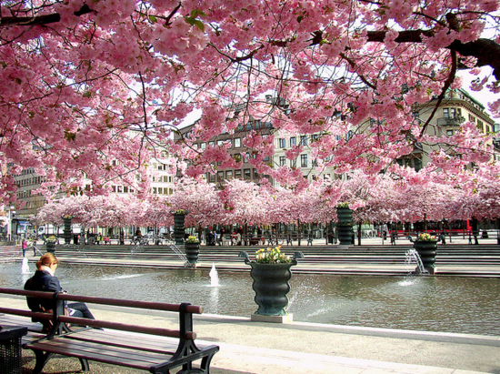 Reading under the cherry blossoms