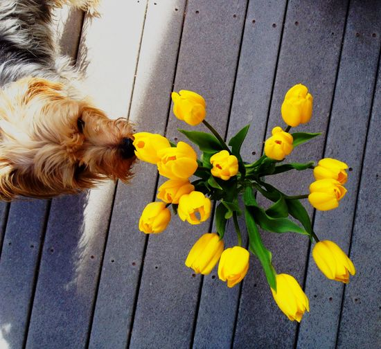 Yellow tulips and a Yorkie