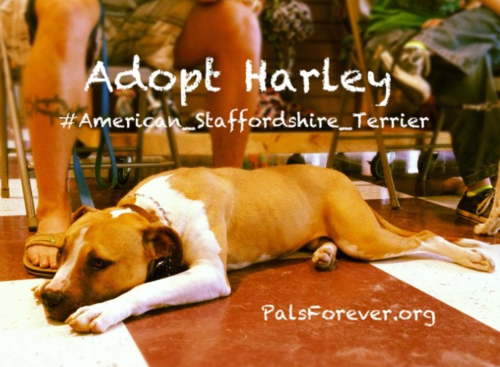 Adoptable dog: #American_Staffordshire_Terrier named Harley
