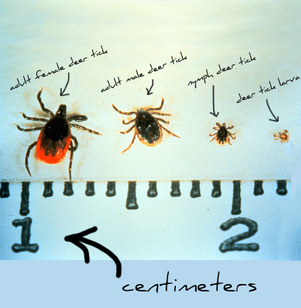 How to identify a deer tick