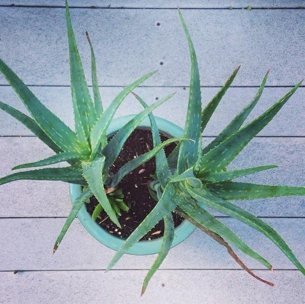 Aloe Vera Skin Mask Recipe