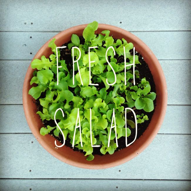 Fresh-salad-garden